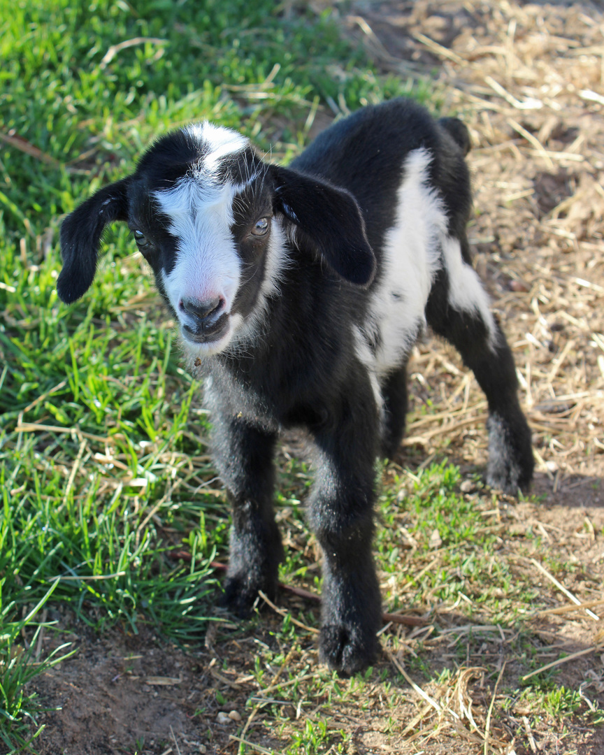 This Cute Black And White Twin Buckling Is Available He Polled Add The Gene To Your Herd Begin Eliminate Need Disbud Babies