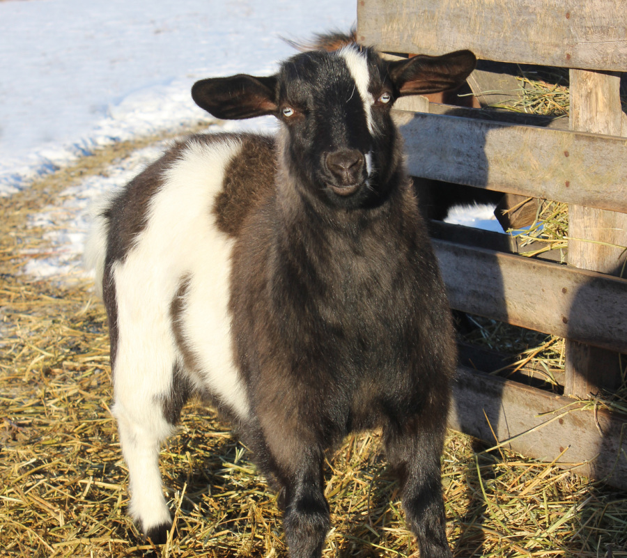 This Is BLUE EYES She Sookys Naturally Polled Daughter Although The Photo Does Not Do Her Justice Has Lovely Pale Blue Eyes